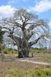 Boabab Tree Stock Photography