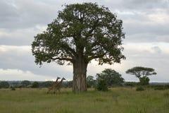 Boabab y jirafa Foto de archivo libre de regalías