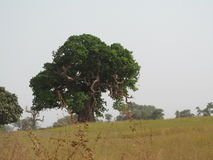 Boabob tree in folage. The Boabob or upside down tree was photographed in Burkina Faso in the dry season Royalty Free Stock Images