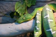 Boaconstrictor mythologie wiens functie, of groene boomboa LAT Coralluscaninus stock afbeelding