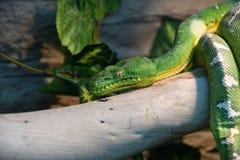 Boaconstrictor mythologie wiens functie, of groene boomboa LAT Coralluscaninus stock foto's