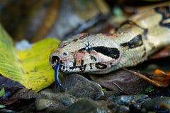 Boaconstrictoren - kallade dentailed boaen, eller den gemensamma boaen, är art av den stora, icke-giftiga skurkroll-förkroppsliga royaltyfri bild