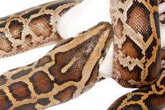 boaen äter tjaller ormen royaltyfri bild