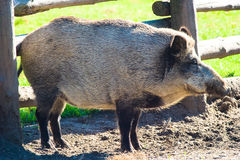 Boar. Ugly looking boar searching for bulbs and tubers to eat royalty free stock photo