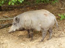 Boar Royalty Free Stock Image