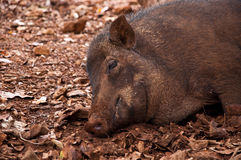 Boar Stock Images