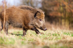 Boar. Coming out of the forest and look at me Stock Image