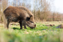 Boar. Coming out of the forest and look at me Stock Photos