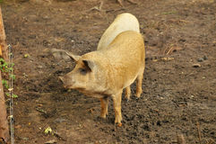 Boar Royalty Free Stock Photo