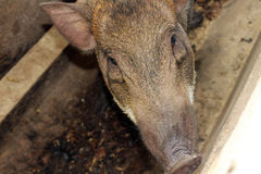 Boar background. Close up brown boar background Stock Photos
