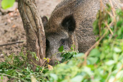 Boar 3. Big and fat boar in the forest Royalty Free Stock Photography