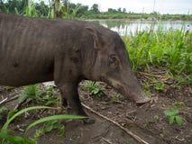 Boar Stock Image
