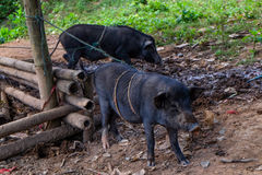 Boar. The boars were fed in the home Also called wild boars Stock Photo