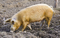 Boar of the breed Mangalica Stock Images