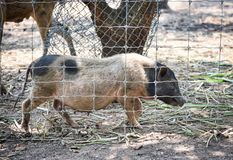 Boar in the cage royalty free stock images