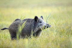 Boar in the clearing. Stock Photography