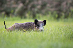 Boar in the clearing. Stock Images