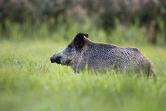 Boar in a clearing Stock Photo