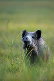 Boar in a clearing Royalty Free Stock Photography