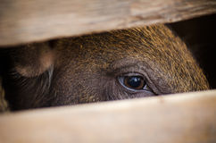 Boar. Close up the eye of young boar in the farm Royalty Free Stock Image