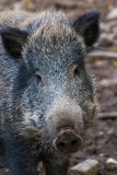 Boar close up. With hige nose Stock Image