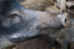 Boar close up. From the side Royalty Free Stock Image