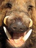 Boar Closeup Royalty Free Stock Photo
