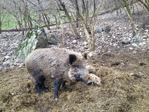 the boar and the cubs Royalty Free Stock Photography