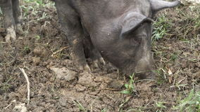 Boar digs the ground stock footage