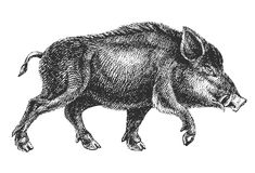 Boar drawing Stock Photos