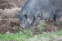 Boar eat grass root Stock Photography