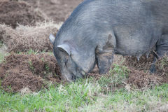 Boar eat grass root Stock Photos