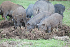 Boar eat grass root Royalty Free Stock Photography