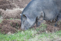 Boar eat grass root Stock Image