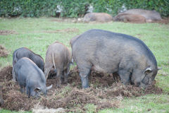 Boar eat grass root Royalty Free Stock Photo