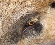 Boar eye and hair texture Royalty Free Stock Photos