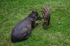 Boar family Stock Photos