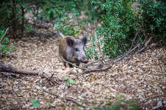 Boar in forest Royalty Free Stock Photos