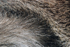 Boar fur Royalty Free Stock Image