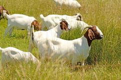 Boar Goats Stock Photos