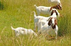 Boar Goats Royalty Free Stock Photos