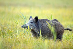Boar in the grass royalty free stock images