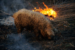 Boar on the ground. Next to the fire on rural farm royalty free stock images