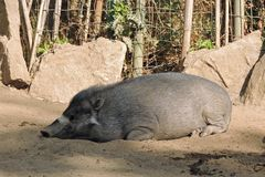 Boar hog resting at the zoo. Boar hog takes a break during the day at the zoo Royalty Free Stock Image