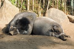 Boar hogs resting at the zoo. Boar hogs take a break during the day at the zoo Stock Photography