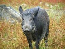 Boar Stock Photography