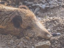 A boar lies in the dirt and sleeps stock photos