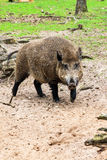 Boar male Royalty Free Stock Photography