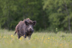 Boar Stock Image
