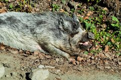 Boar in the natural environment,travel concept in the wild. Carpathian, Ukraine, closeup. Boar in the natural environment,travel concept in the wild. Carpathian stock images